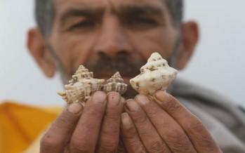 بحر صور: أصداف الموركس