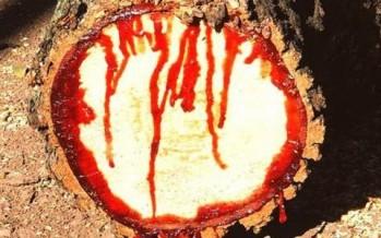 شجرة تنزف الدمّ عند قطعها