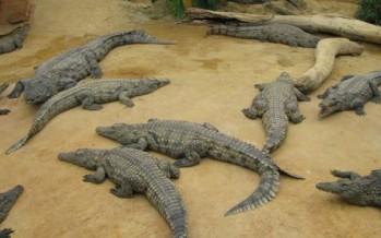 ربى 300 تمساح في شقته خلال عامين!
