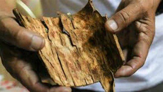 شجرة عريقة قد تخلص العالم من فيروس كورونا
