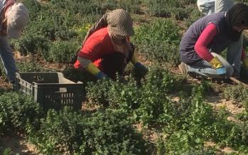 الصعتر: زراعة بديلة ومنتجة في الجنوب بحاجة للدعم الرسمي